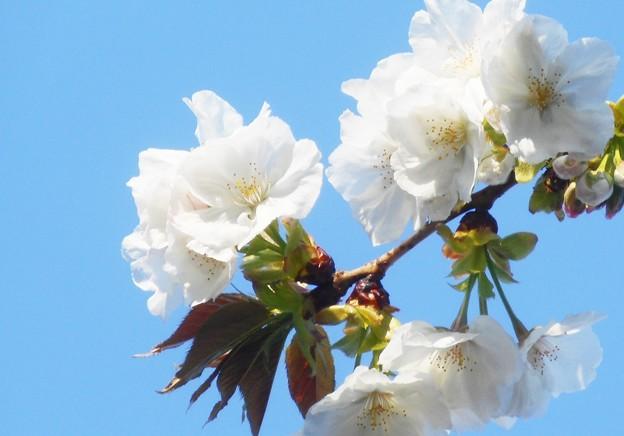 大島桜(オオシマザクラ)咲く@千光寺山