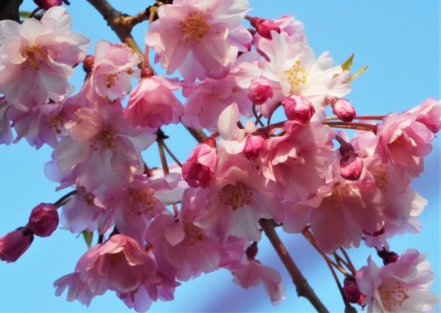 紅枝垂糸桜(ベニシダレイトザクラ)@千光寺山