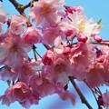 Photos: 紅枝垂糸桜(ベニシダレイトザクラ)@千光寺山