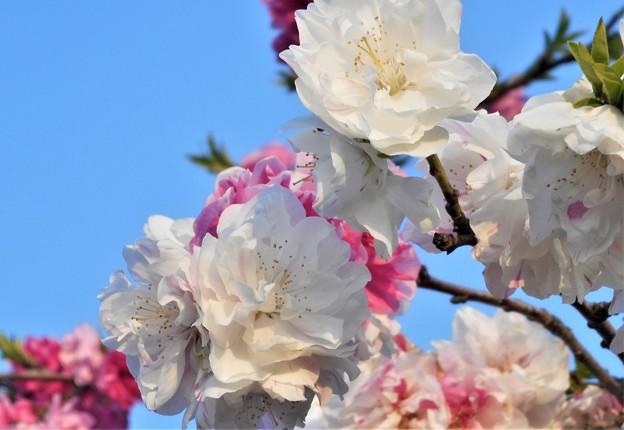八重に紅白に咲く@桃の花