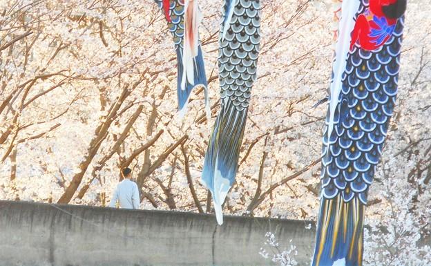 鯉も泳ぐ 桜の並木道
