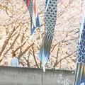 Photos: 鯉も泳ぐ 桜の並木道