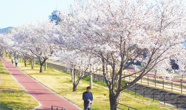 四月十日の桜並木@黒崎水路