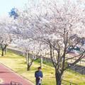 Photos: 四月十日の桜並木@黒崎水路