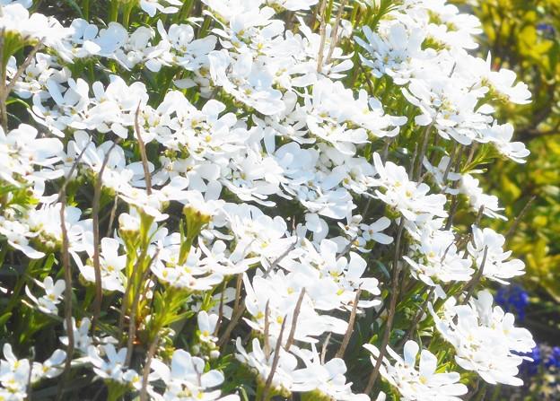 """四月に咲く白い花 """"イベリス"""""""