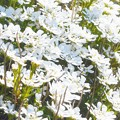 "Photos: 四月に咲く白い花 ""イベリス"""