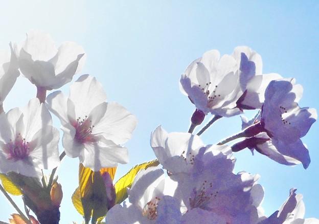 四月十日の空に 桜咲く