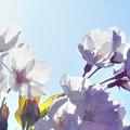 Photos: 四月十日の空に 桜咲く