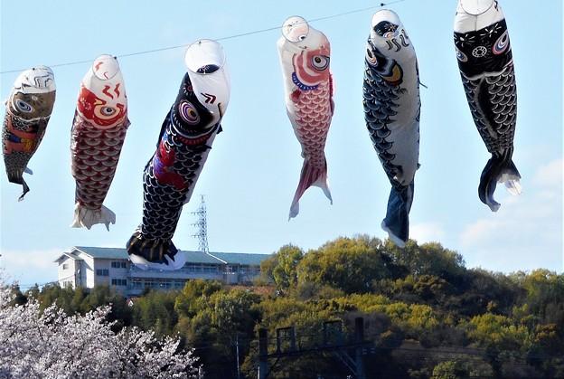 激流(強風)を泳ぐ 四月の鯉たち