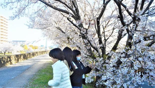 桜のスケッチ(宿題)をする小5生たち@桜並木