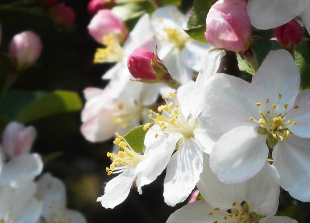 リンゴの白い花@遊歩道