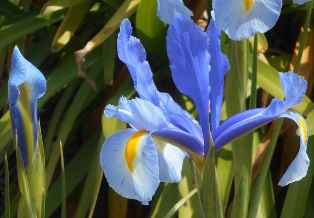 ダッチアイリスの青い花