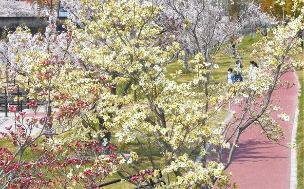 桜と紅白のハナミズキたち
