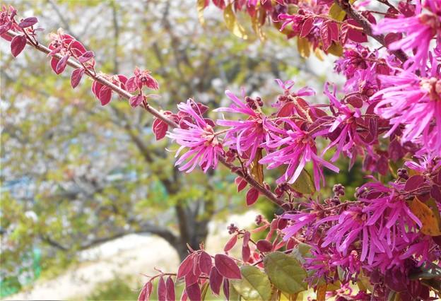 桜と万作@生口島