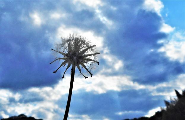 綿毛が風に飛んで行く@タンポポ