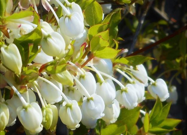 たわわの白いドウダンツツジの花