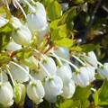 Photos: たわわの白いドウダンツツジの花
