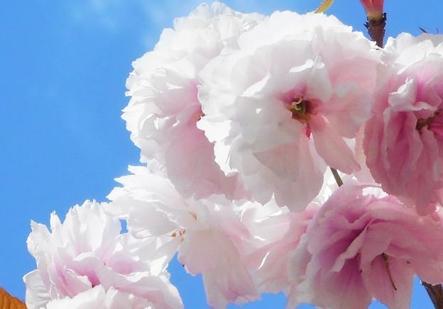 青空に八重桜@瀬戸内海・生口島