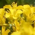 Photos: 菜の花の咲くころ