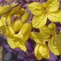 Photos: アブラナ科の花