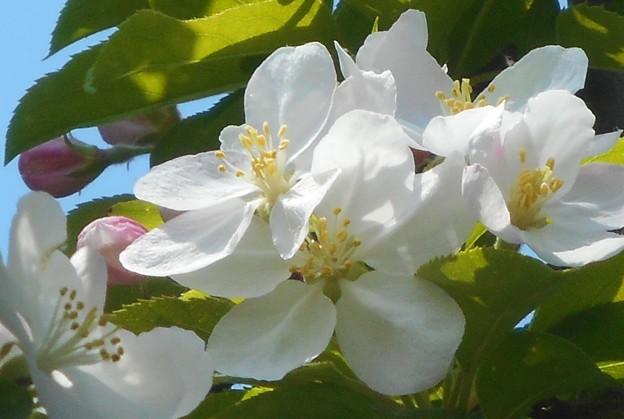 林檎の花ほころび