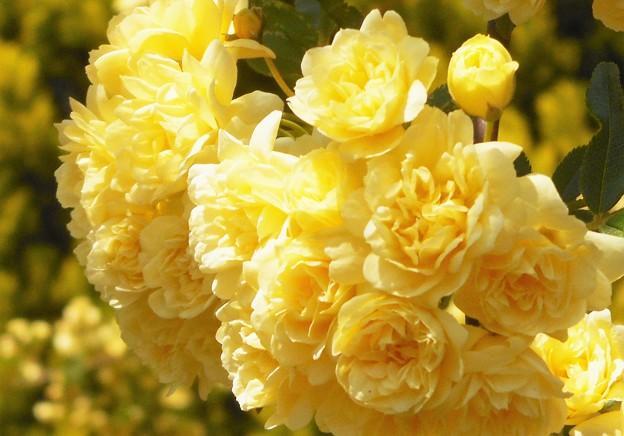 モッコウバラが花盛り