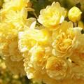 Photos: モッコウバラが花盛り