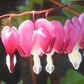 鯛釣草(タイツリソウ)の花@農家の庭先にて