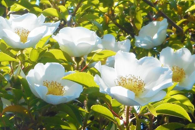 ナニワイバラの花盛り@ロサ レビガータ