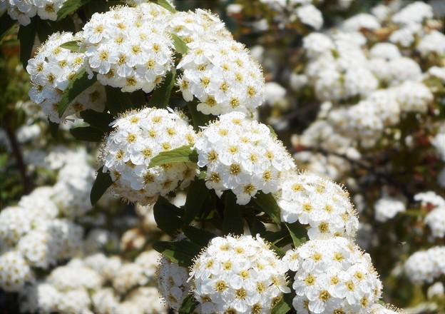 コデマリの白い花@農家の庭先にて