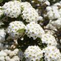 Photos: コデマリの白い花@農家の庭先にて