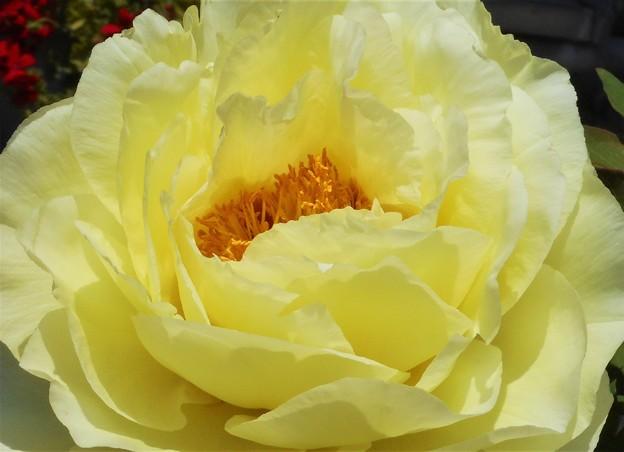 牡丹(ボタン)の花(黄)@農家の庭にて