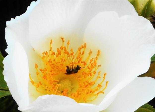 花の中で動くはミツバチくん@ナニワイバラ