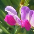 野に咲く元気な花  カラスノエンドウ@瀬戸内海 生口島