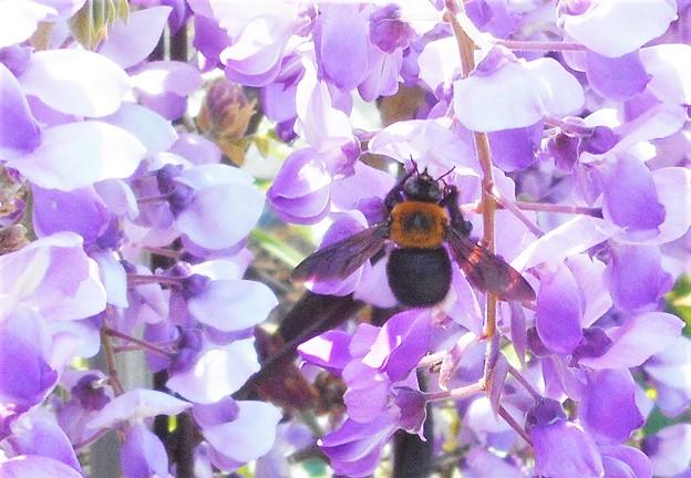 フジの花とクマンバチ@生口島
