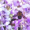 Photos: フジの花とクマンバチ@生口島