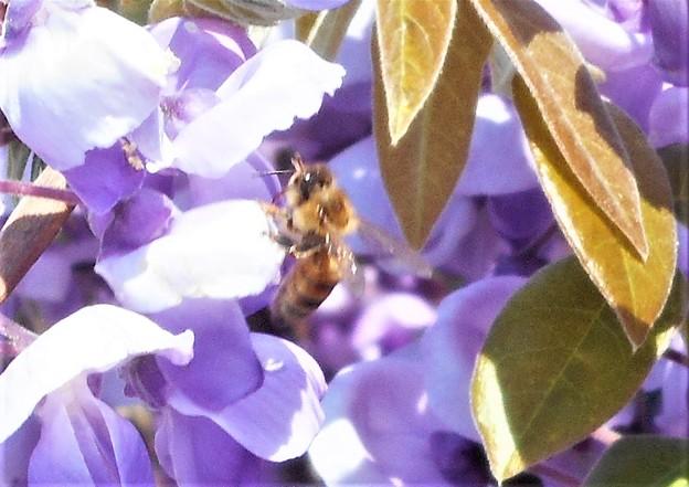 フジの花と陽気なミツバチくん@瀬戸内海 生口島