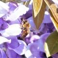Photos: フジの花と陽気なミツバチくん@瀬戸内海 生口島