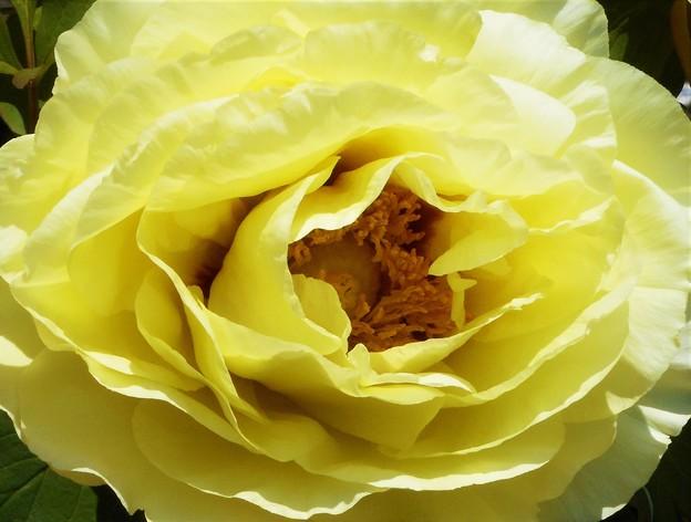 黄牡丹の花@農家の庭先にて