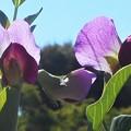 Photos: サヤエンドウの花々@緑豆