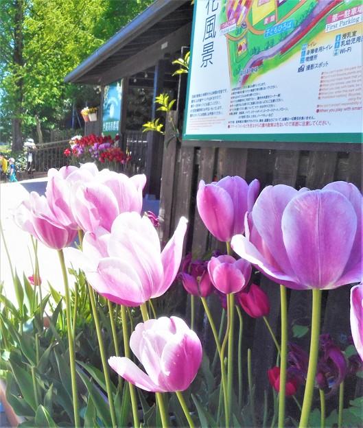 チューリップ祭2020@エントランスの花風景