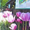 Photos: チューリップ祭2020@エントランスの花風景