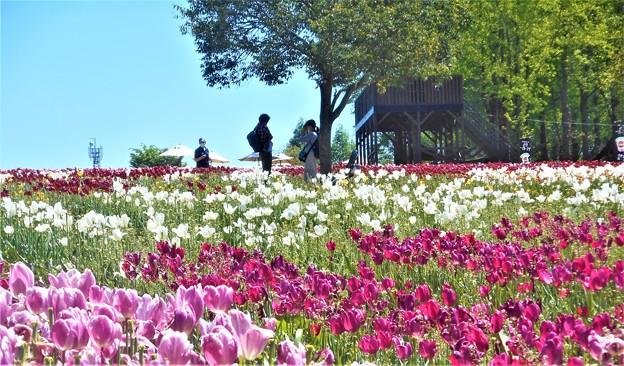 五月晴れの世羅高原@チューリップ畑