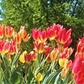 五月の風に揺れる@世羅高原農場