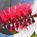 初夏に咲く@ゴワゴワの紅い花 ブラシノキ