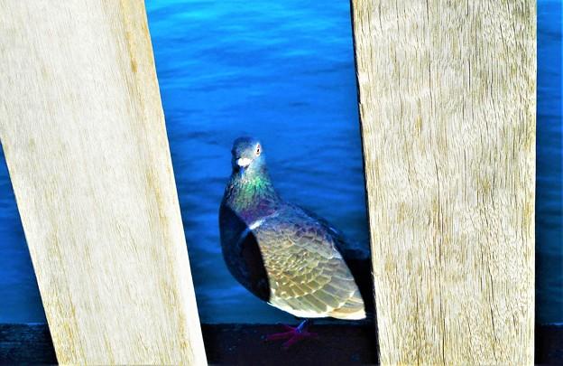 ウッドデッキに飛んで来た鳩@瀬戸内海・海岸通り
