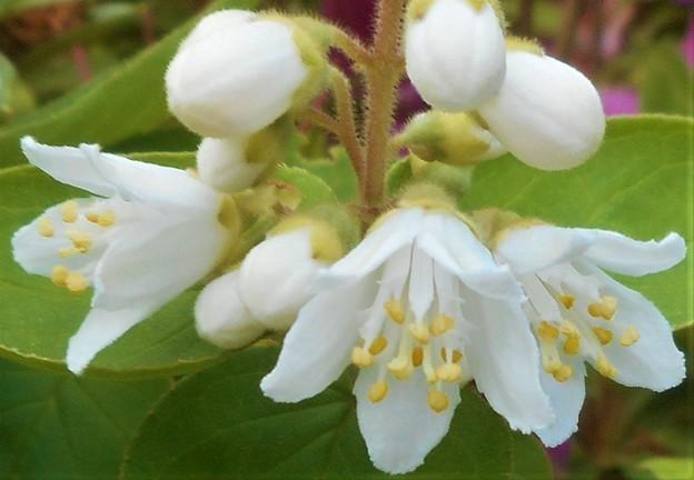 高原に咲く白い花
