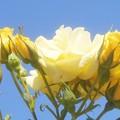 Photos: 青空に黄色い薔薇