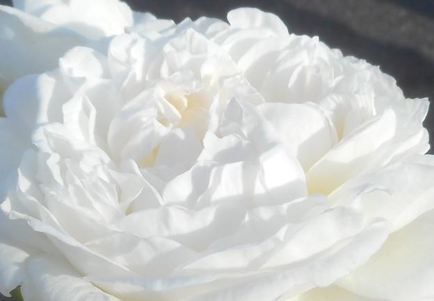 白雪のように咲く@ばら公園の白い薔薇