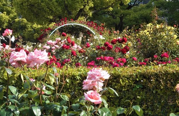 風薫る五月の薔薇@福山ばら公園